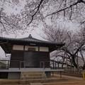 石戸蒲の桜(右)