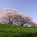桜並木のサイクリングロード