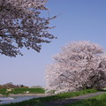 梅ノ木貯水池の桜