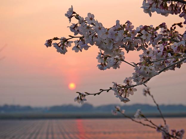 桜~ソーラーサンセット