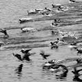 写真: ヒドリガモ大編隊、着水1