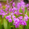 Photos: 紫蘭1