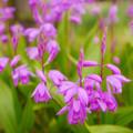 Photos: 紫蘭2