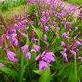 Photos: 紫蘭…