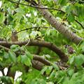 Photos: ムクドリペアー葉桜に遊ぶ