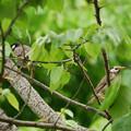写真: ムクドリペアー葉桜に遊ぶ