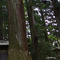 Photos: 一の宮神社の巨木
