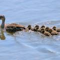 写真: 川を横断。急いで急いで!