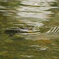 写真: カメさん泳いでる