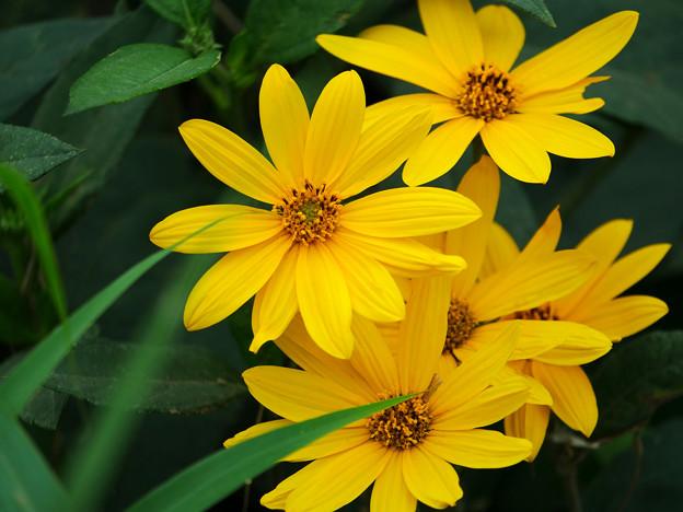 菊芋の花レイヤード
