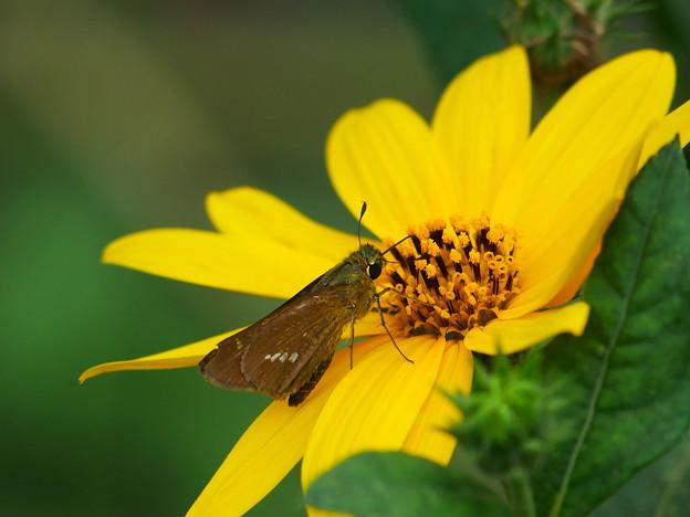 菊芋の花の蜜を吸うセセリチョウ