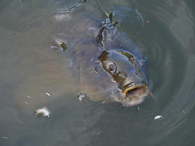 池の鯉、餌くれ~!