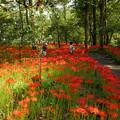 写真: 彼岸花・巾着田曼珠沙華公園