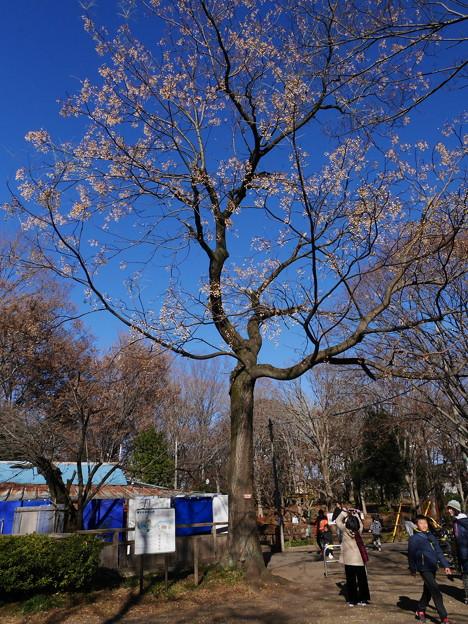 センダン(栴檀)の木