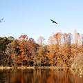 カワウ飛ぶ~三宝寺池
