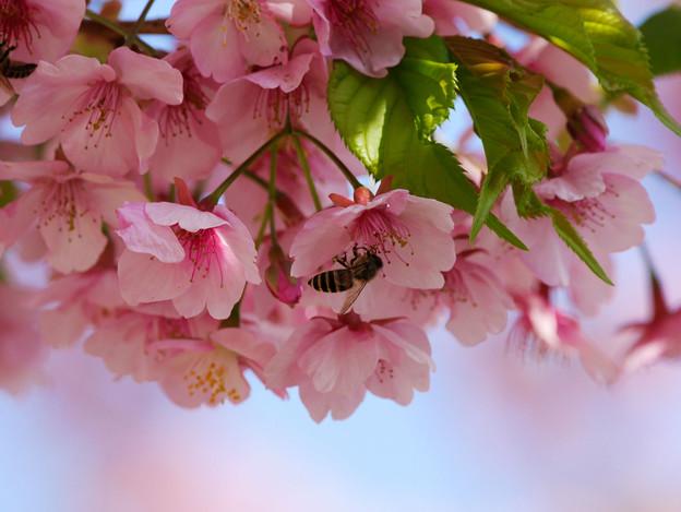 カワヅザクラとミツバチ