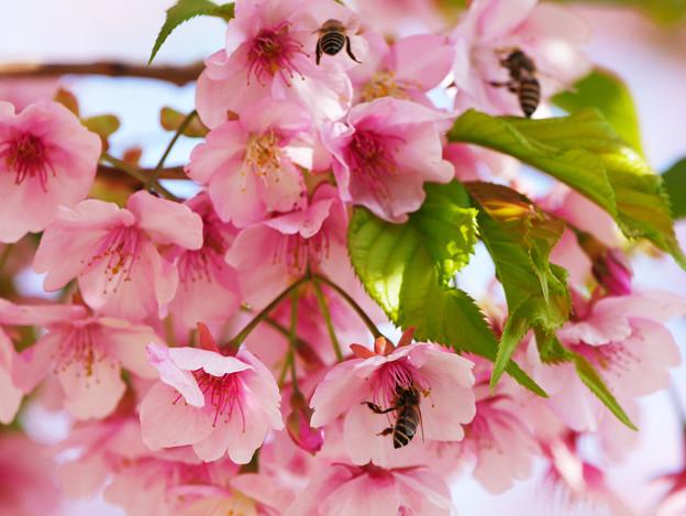 カワヅザクラとミツバチたち