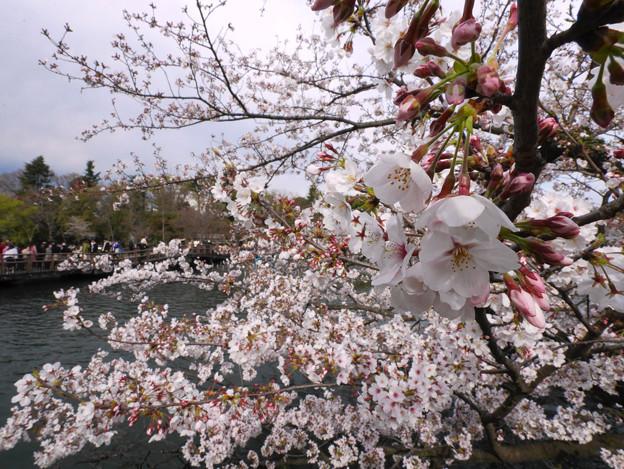 桜と井の頭池