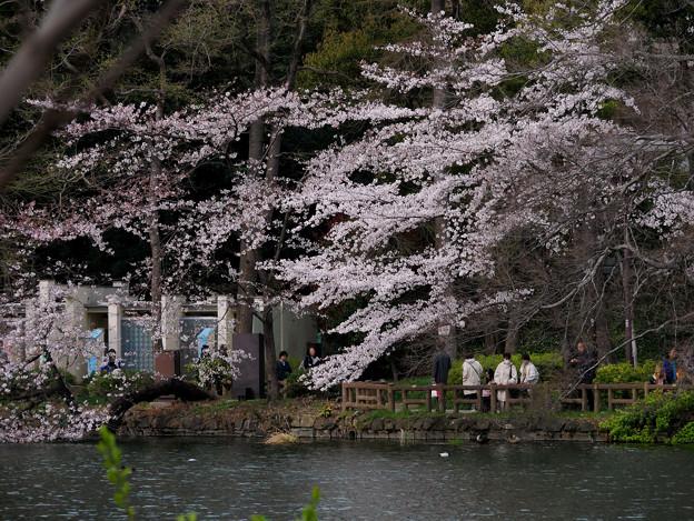 井の頭池対岸の桜