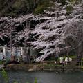 Photos: 井の頭池対岸の桜