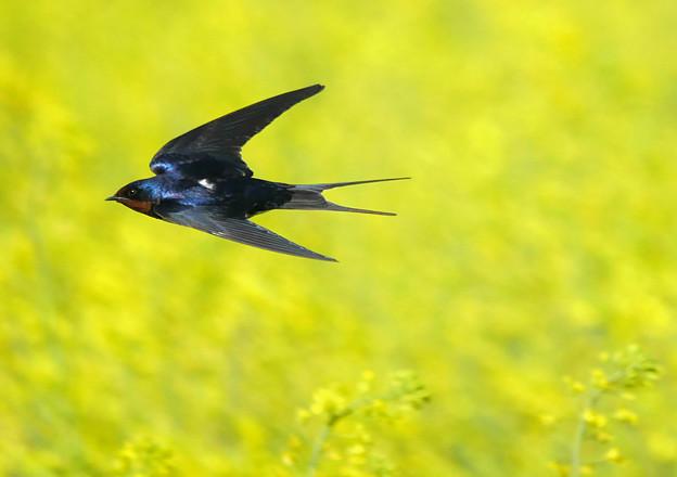 菜の花畑を高速飛翔!!