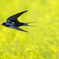 Photos: 菜の花畑を高速飛翔!!