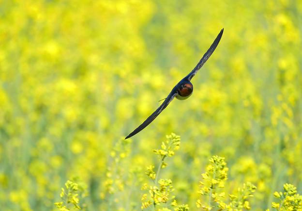 Photos: ツバメさん春を満喫