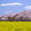 菜の花畑と桜655be-m