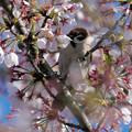 桜の蜜を根元から狙う?スズメさん
