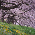 Photos: 桜のシェード