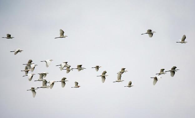 白鷺の群れ