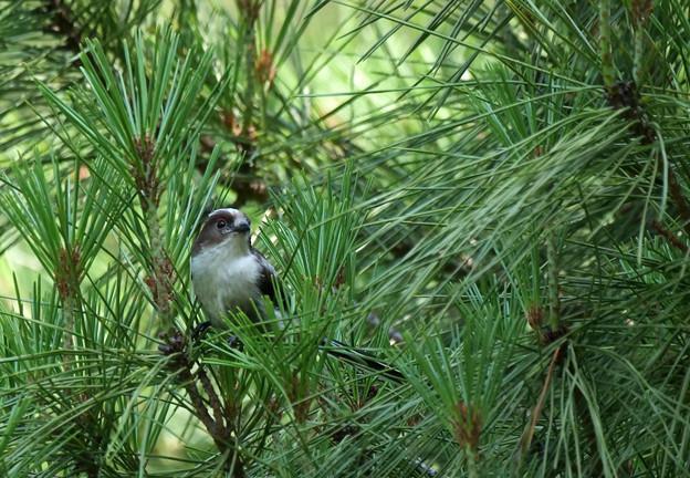 松にエナガの幼鳥さん