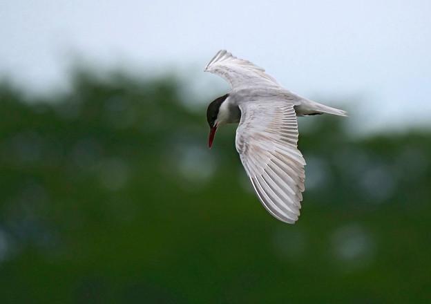 クロハラアジサシ飛翔1