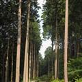 杉の緩斜面道