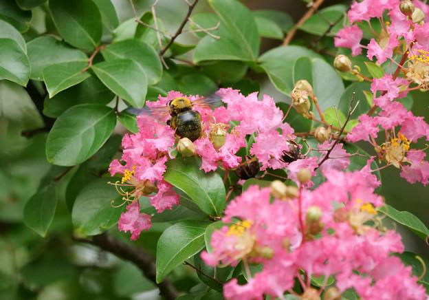 サルスベリにクマバチ1