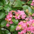 Photos: サルスベリにクマバチ1