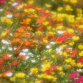 Photos: お花畑1