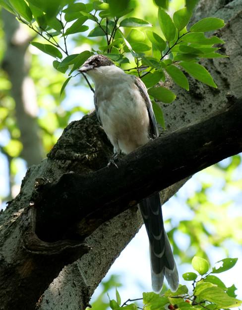 オナガさん幼鳥