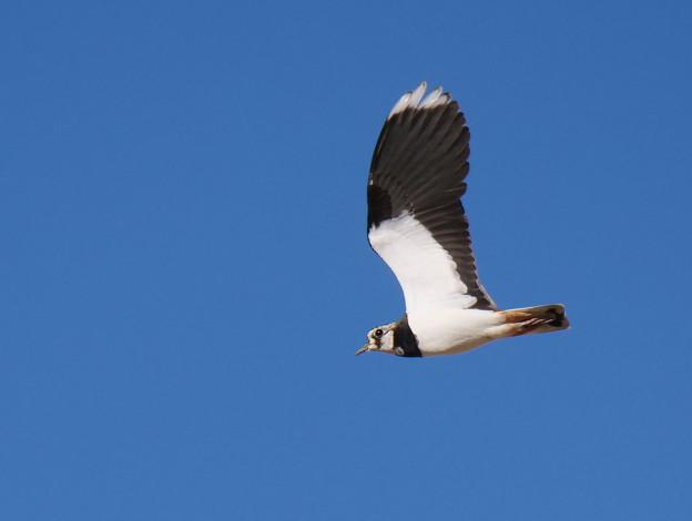 Photos: タゲリさん飛翔