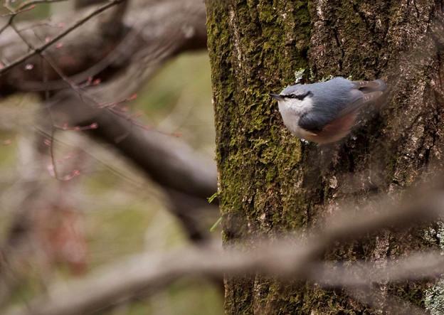 森に棲むゴジュウカラさん