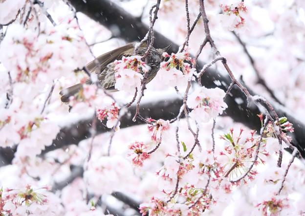 桜に雪、ヒヨ