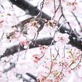 Photos: 桜に雪、ヒヨ