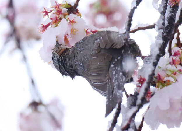 雪でも桜蜜