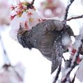 Photos: 雪でも桜蜜