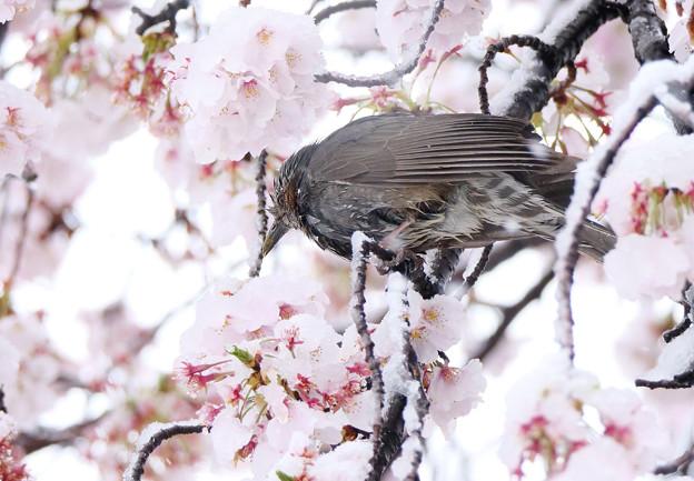 雪桜にヒヨドリさん