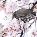 Photos: 雪桜にヒヨドリさん