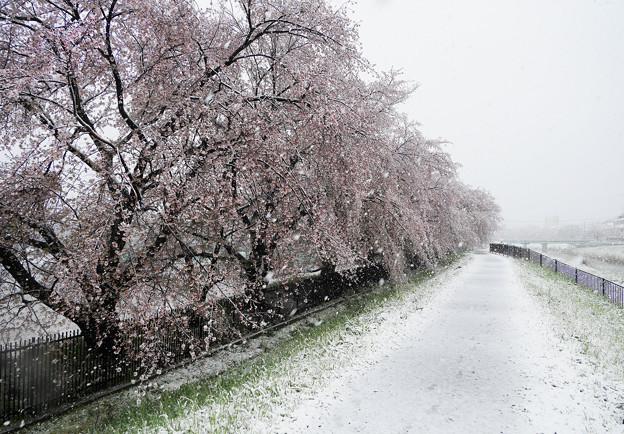満開後の大雪