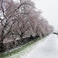 Photos: 満開後の大雪