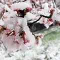 Photos: 桜かき氷