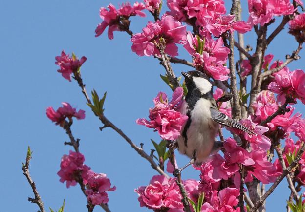 桃の花がいっぱい。